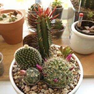 サボテンの寄せ植え鉢