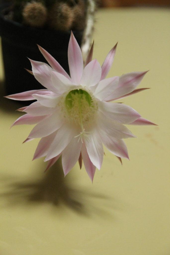 短毛丸の花