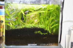 ハイグロSPタイガーを発芽させ水槽に移植