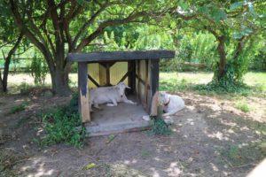 佐久島のヤギ